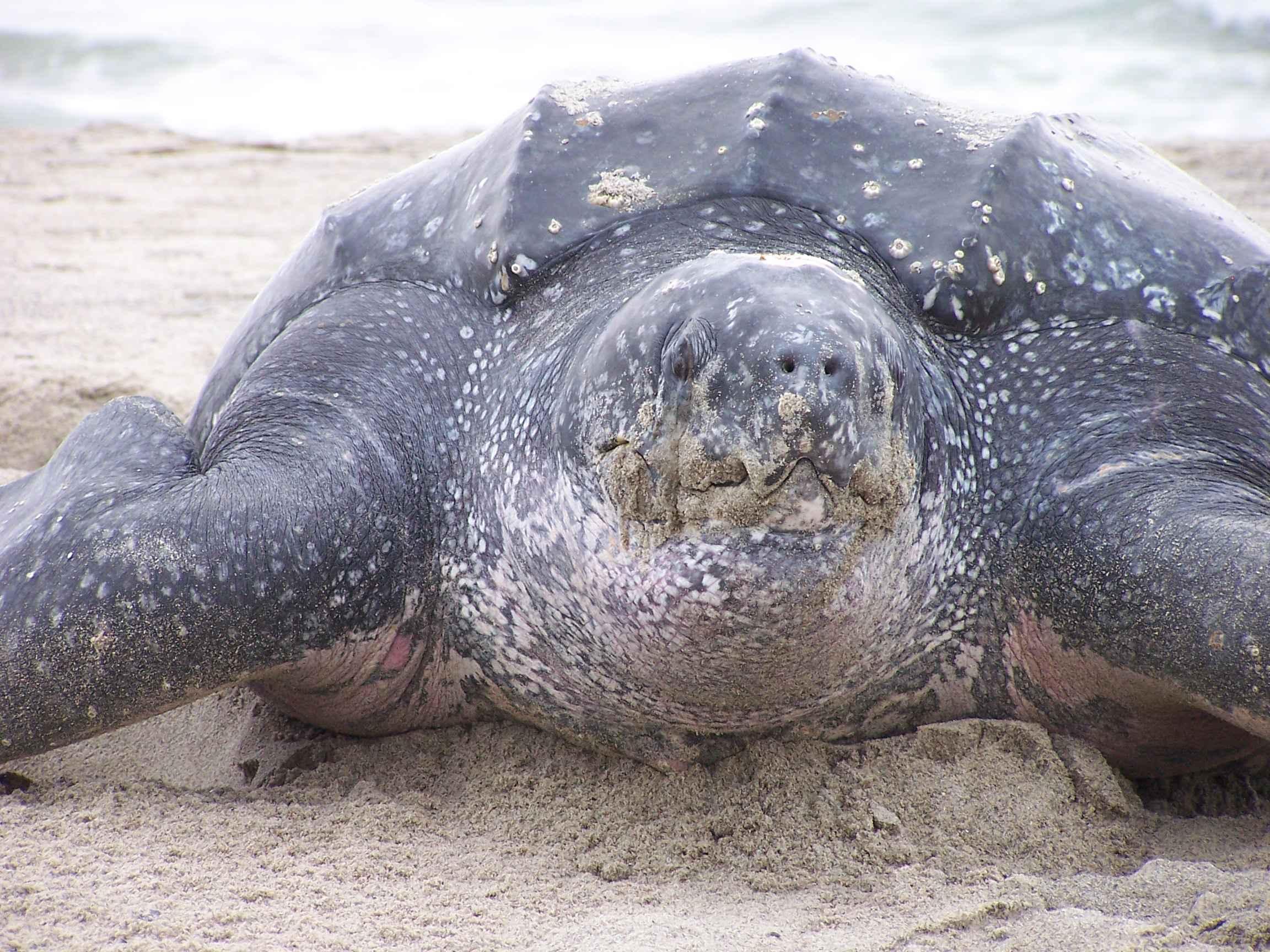 Leatherback sea turtle images