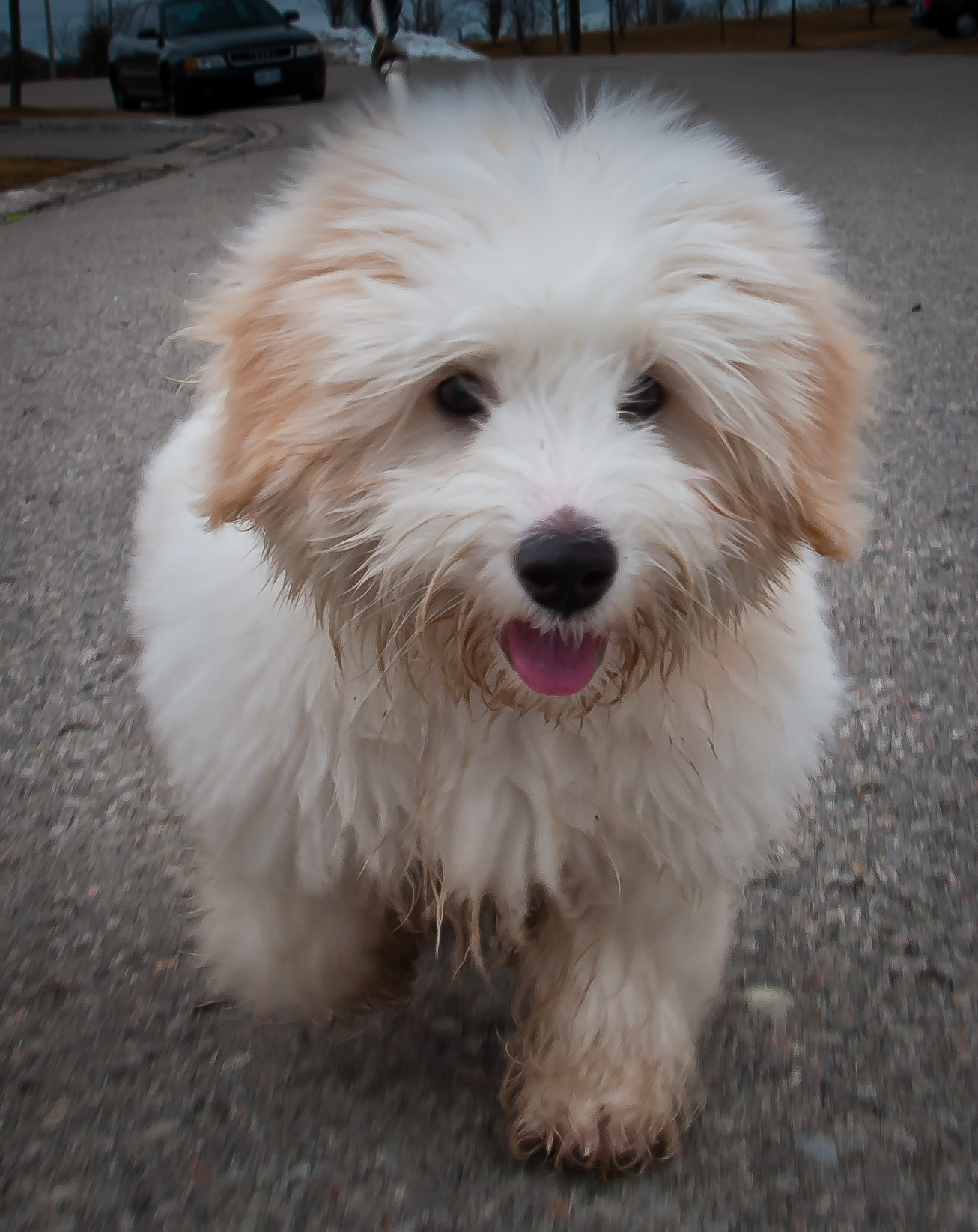 Coton Dog Breed Rescue
