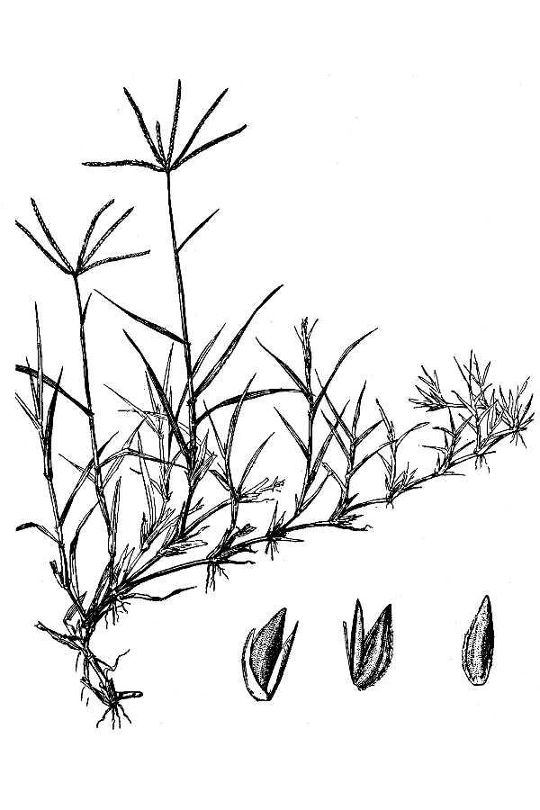 Filecynodom Dactylon Hc 1950