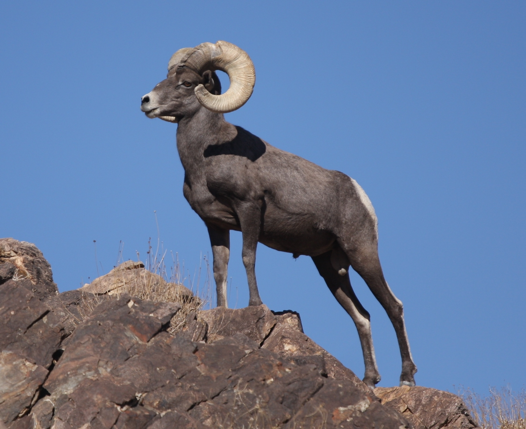 A bighorn sheep standing atop a rock.