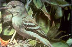 Traills flycatcher index of animals with the same common name