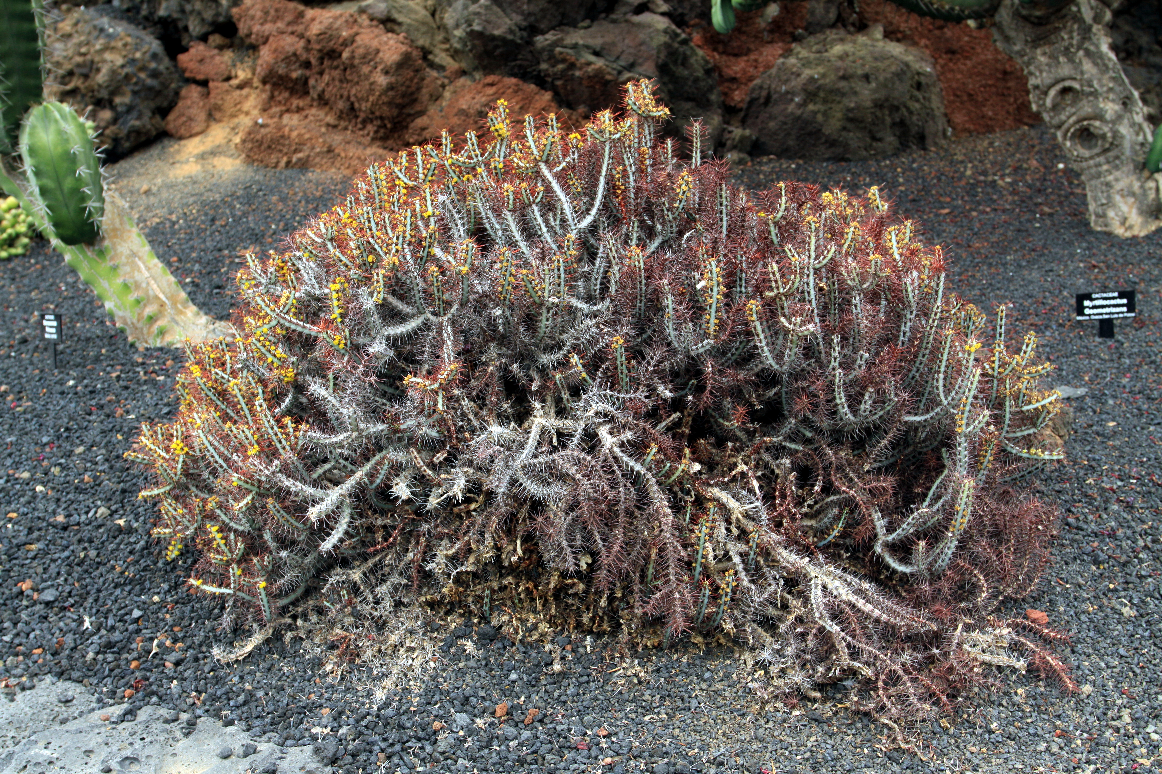 File euphorbia aeruginosa in jardin de cactus on lanzarote for Jardin de cactus lanzarote