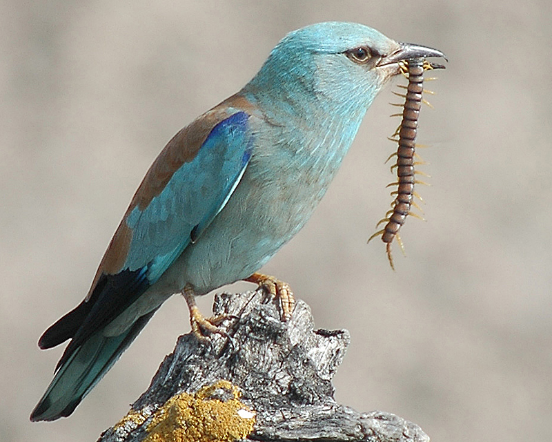 https://upload.wikimedia.org/wikipedia/commons/b/b1/European_roller.jpg