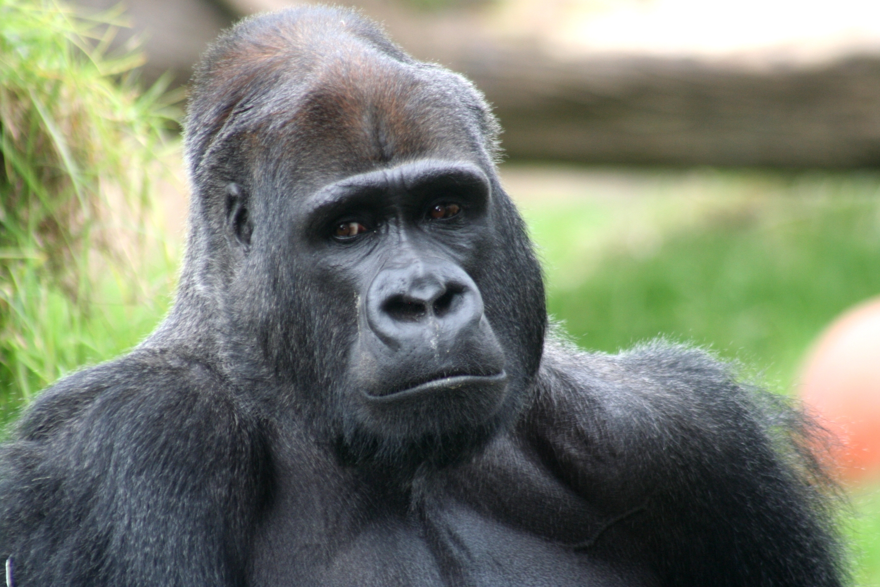 3d animals wallpaper ape - photo #21