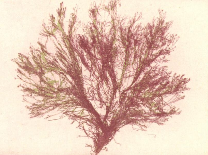 File fmib 53640 rhodophycees ou floridees algues rouges for Algues rouges piscine