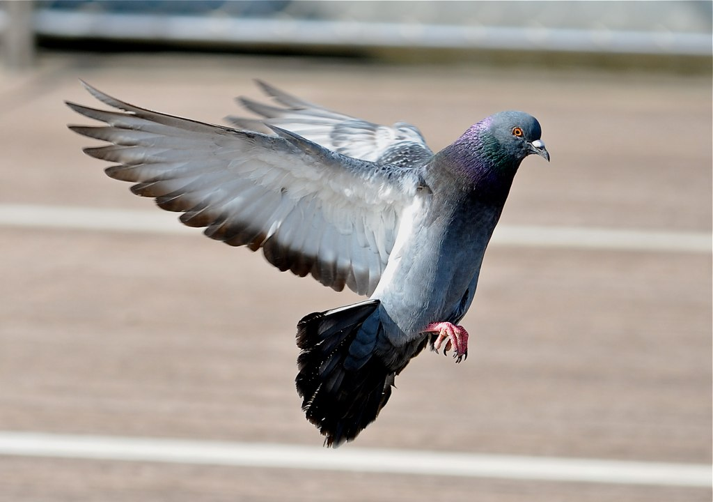 Image result for pigeon