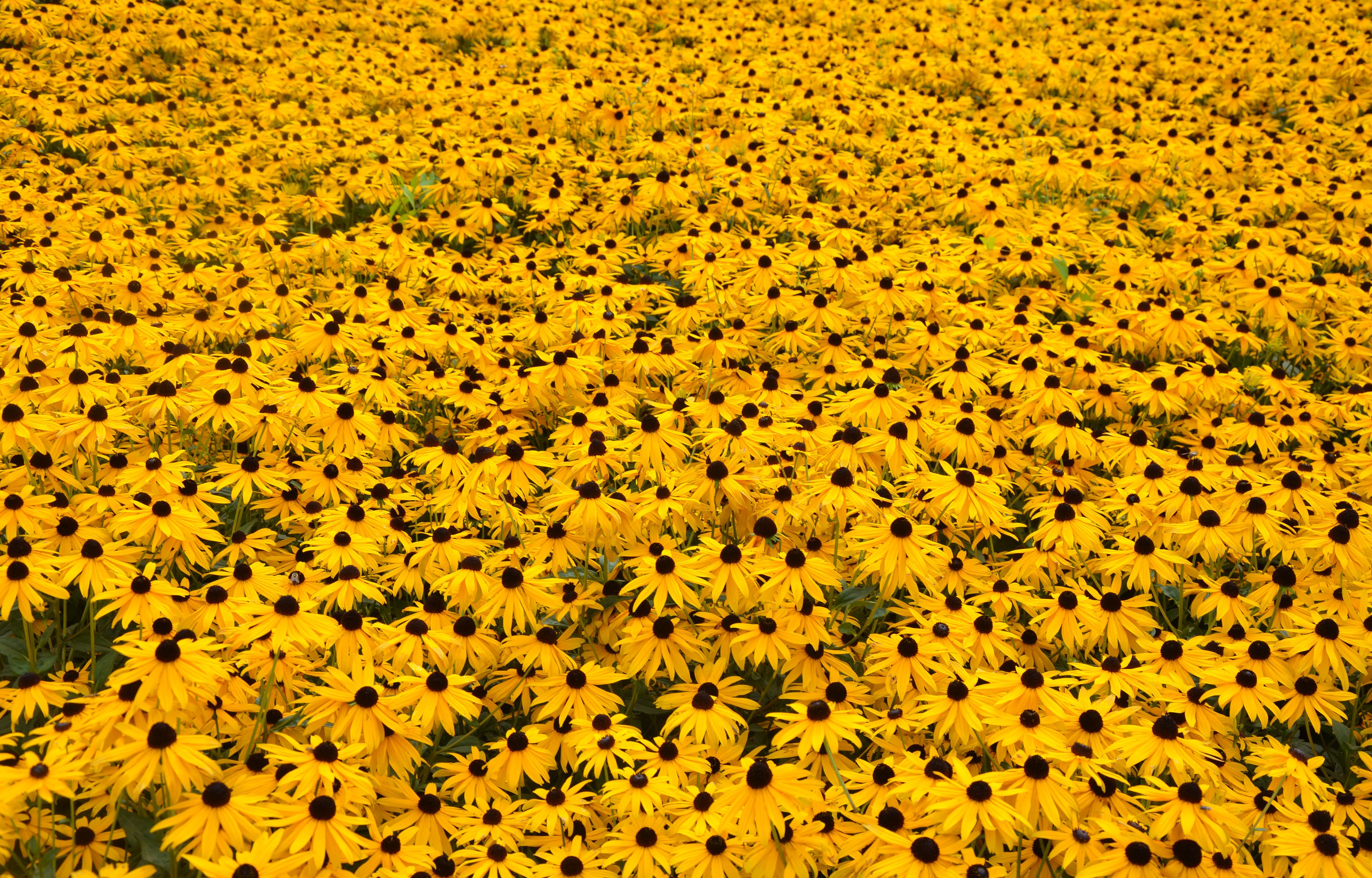 Filefield of yellow flowers 6080049195g wikimedia commons filefield of yellow flowers 6080049195g mightylinksfo Choice Image