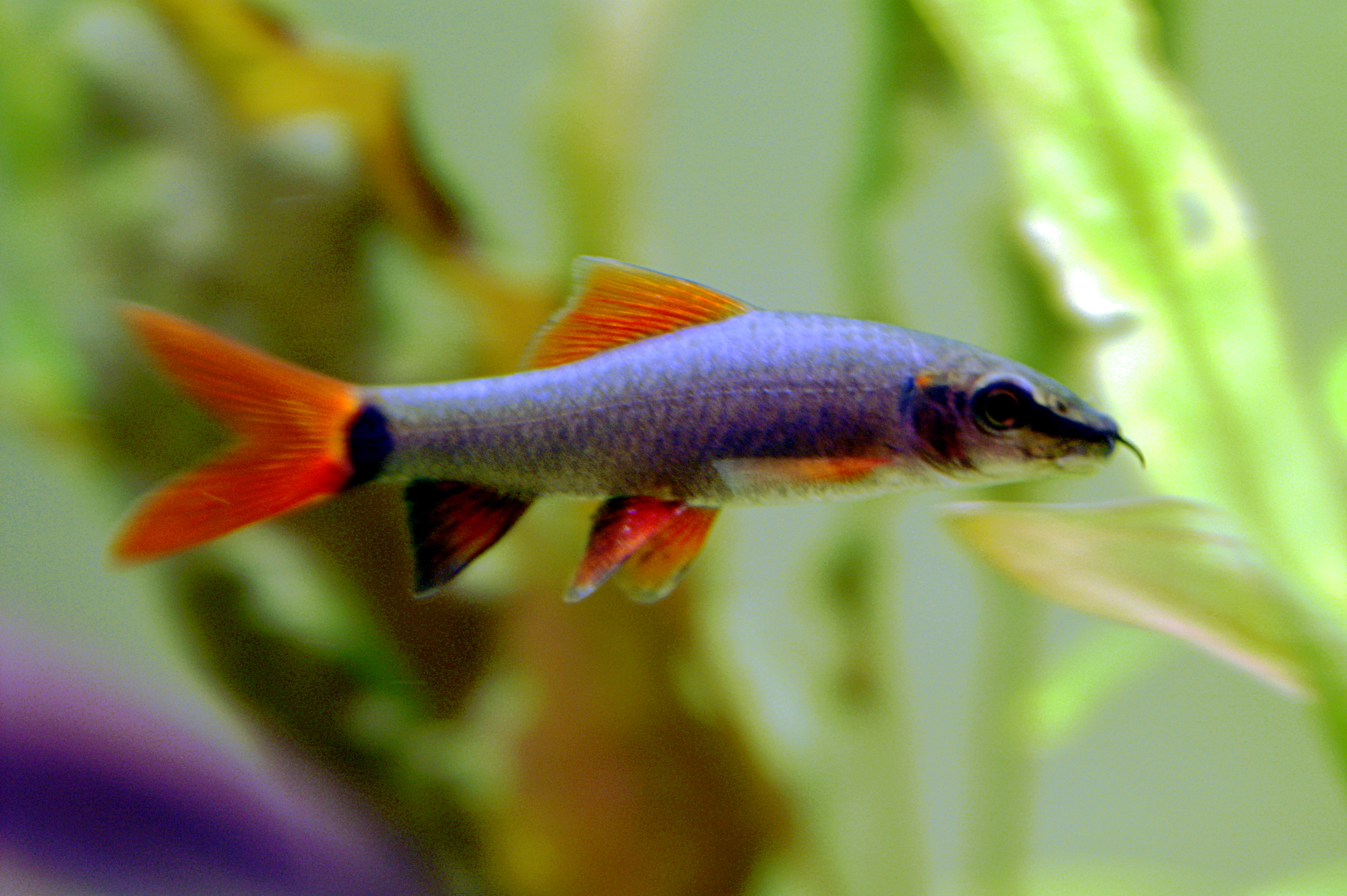The gallery for pet freshwater sharks for Rainbow shark fish