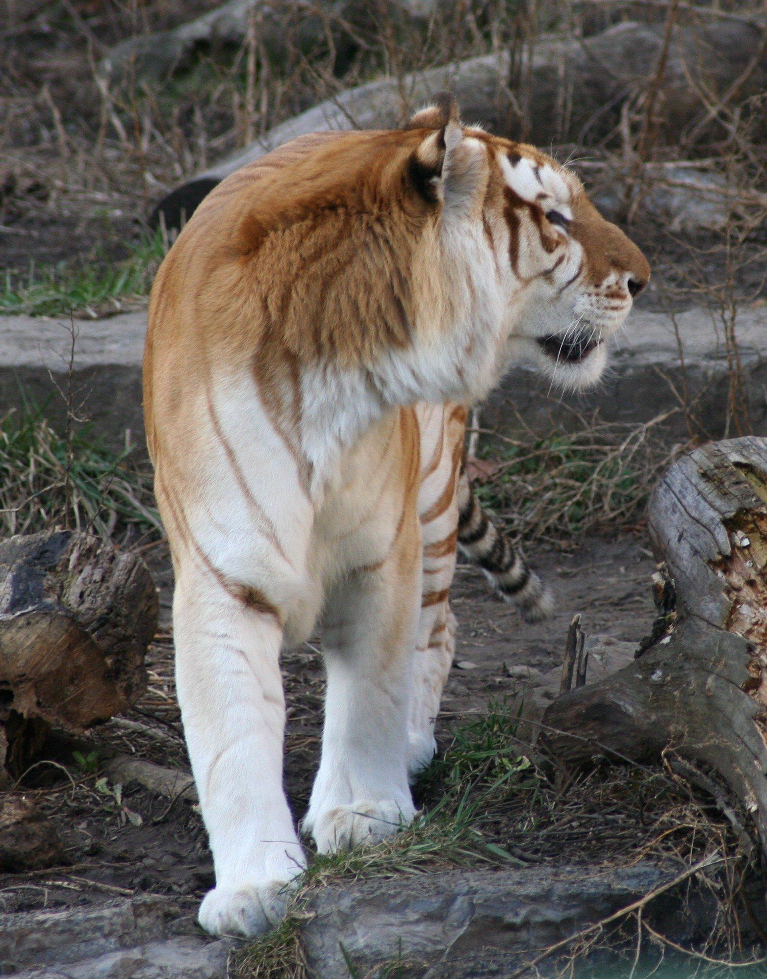 golden tiger wiki