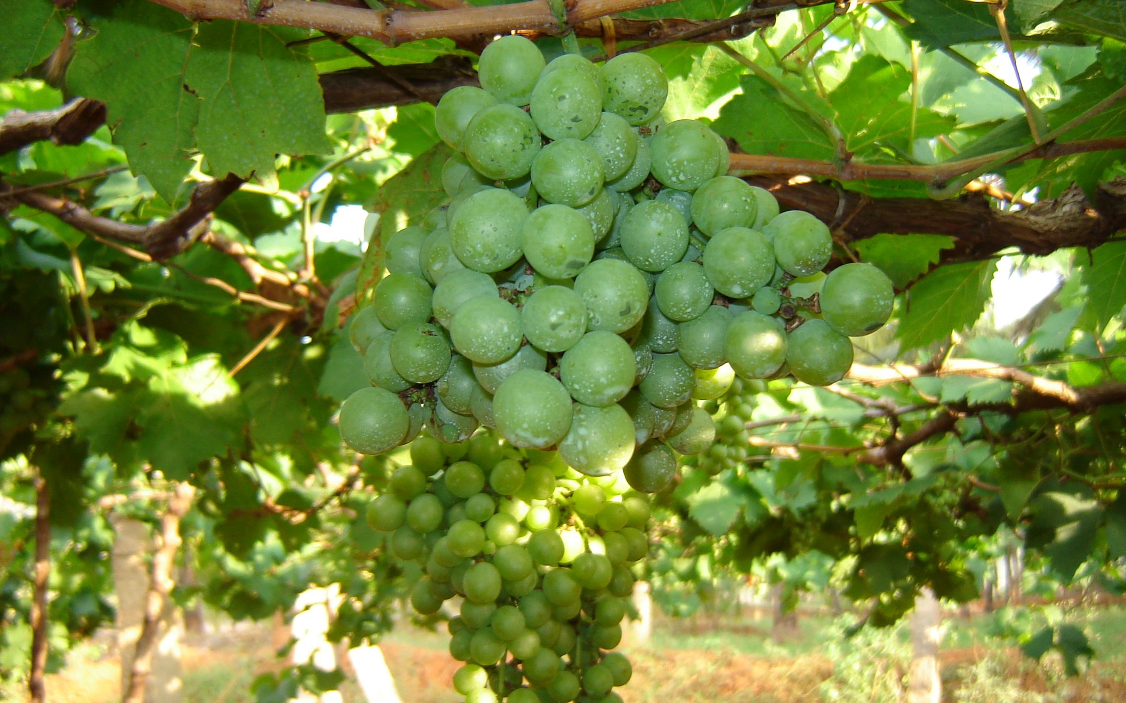 Description Grape cultivation in Tamil Nadu.jpg