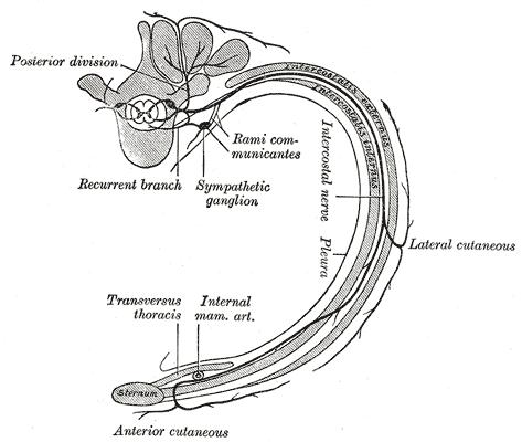 Intercostal Nerves Wikipedia