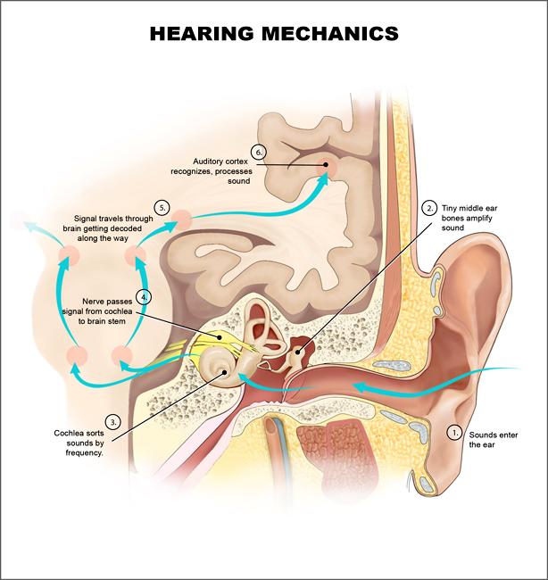 Coclea (anatomia) - Wikiwand