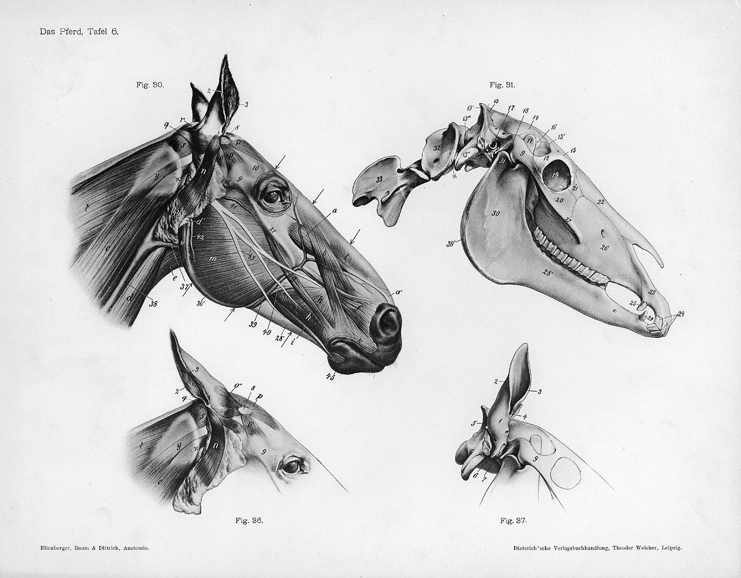 File Horse Anatomy Head Jpg Wikimedia Commons