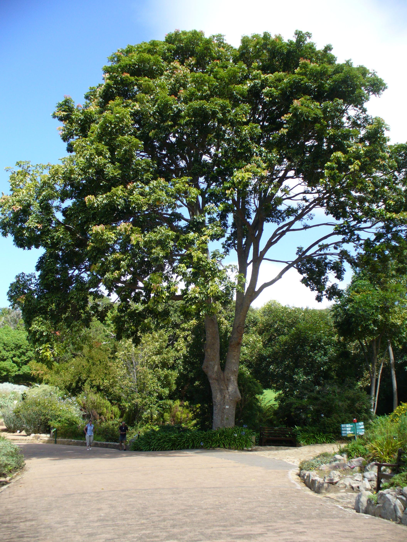 Trees Yielding Furniture Wood Crossword Clue