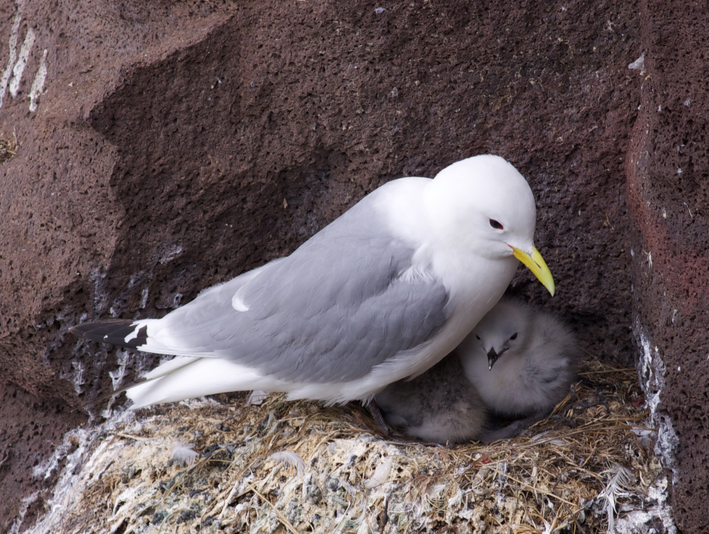 kittiwake with young chick.jpg