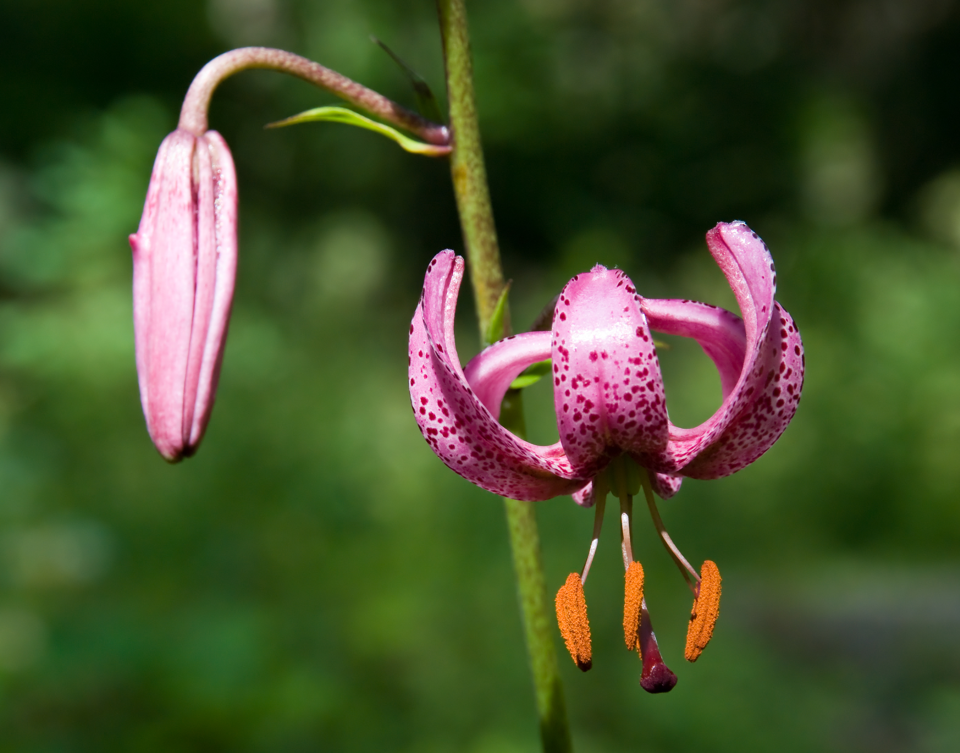 Filelilium martagon kakskertag wikimedia commons filelilium martagon kakskertag izmirmasajfo