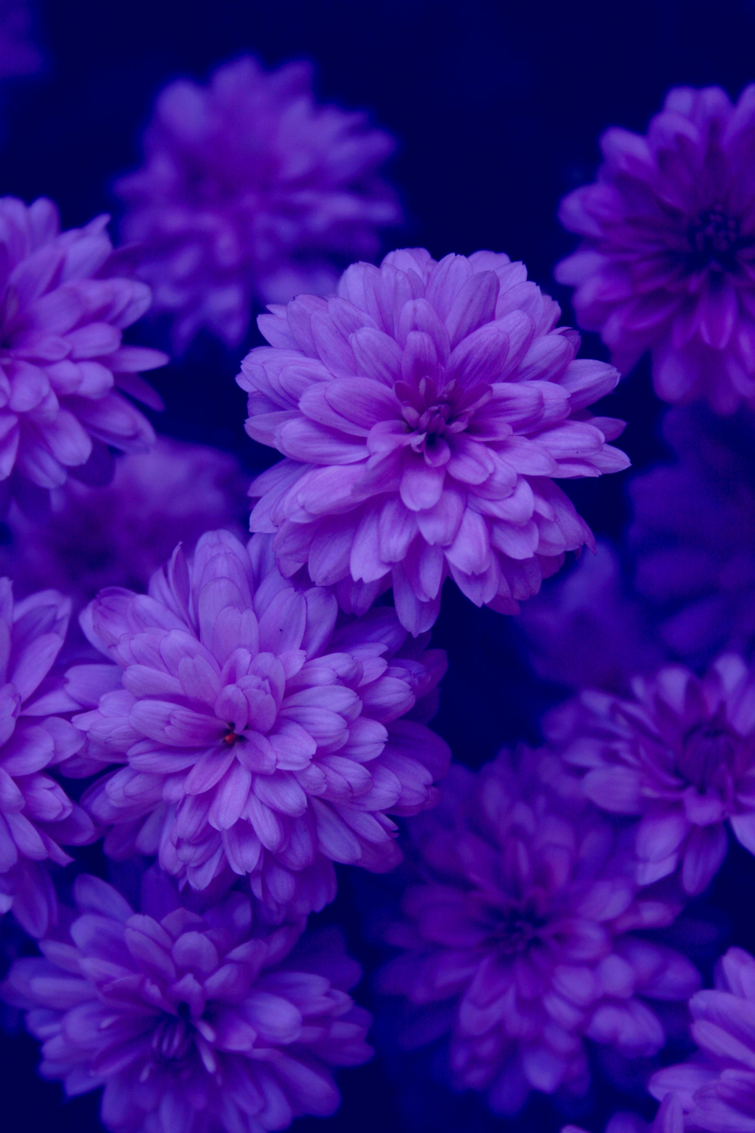 filemidnights garden indigo purple blue flowers free
