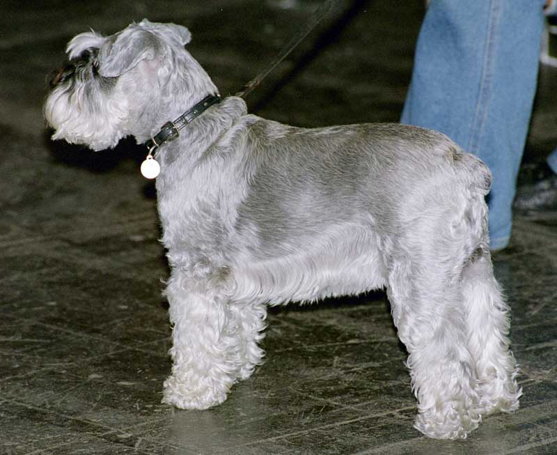 Miniature Schnauzer Dog Images Free Download