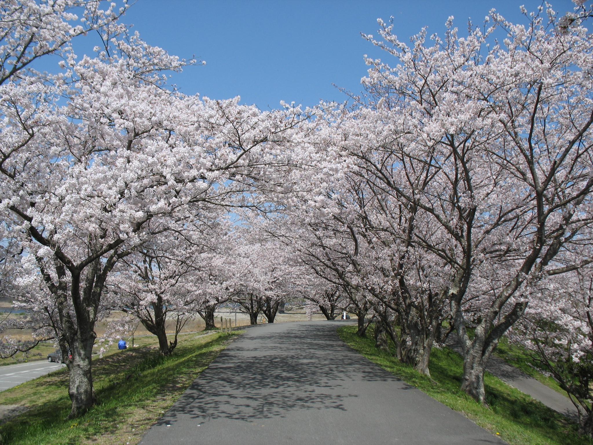 Kirschblüten säumen den Weg
