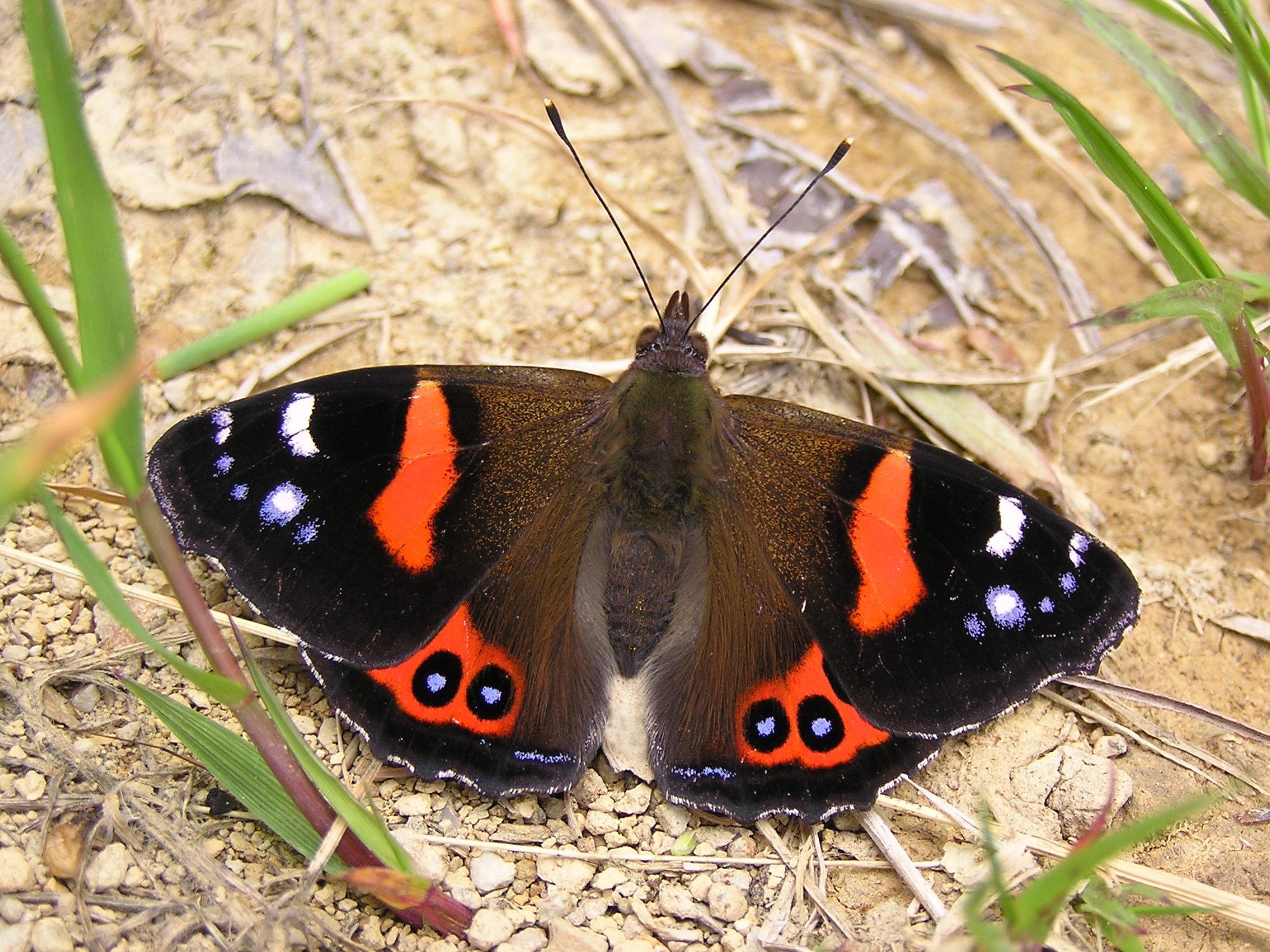 File:NZ Red Admiral Butterfly (Vanessa gonerilla).jpg