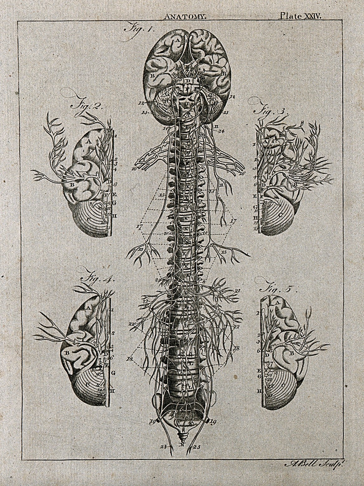 File:Nervous system; five figures, showing the nerves, brain and ...