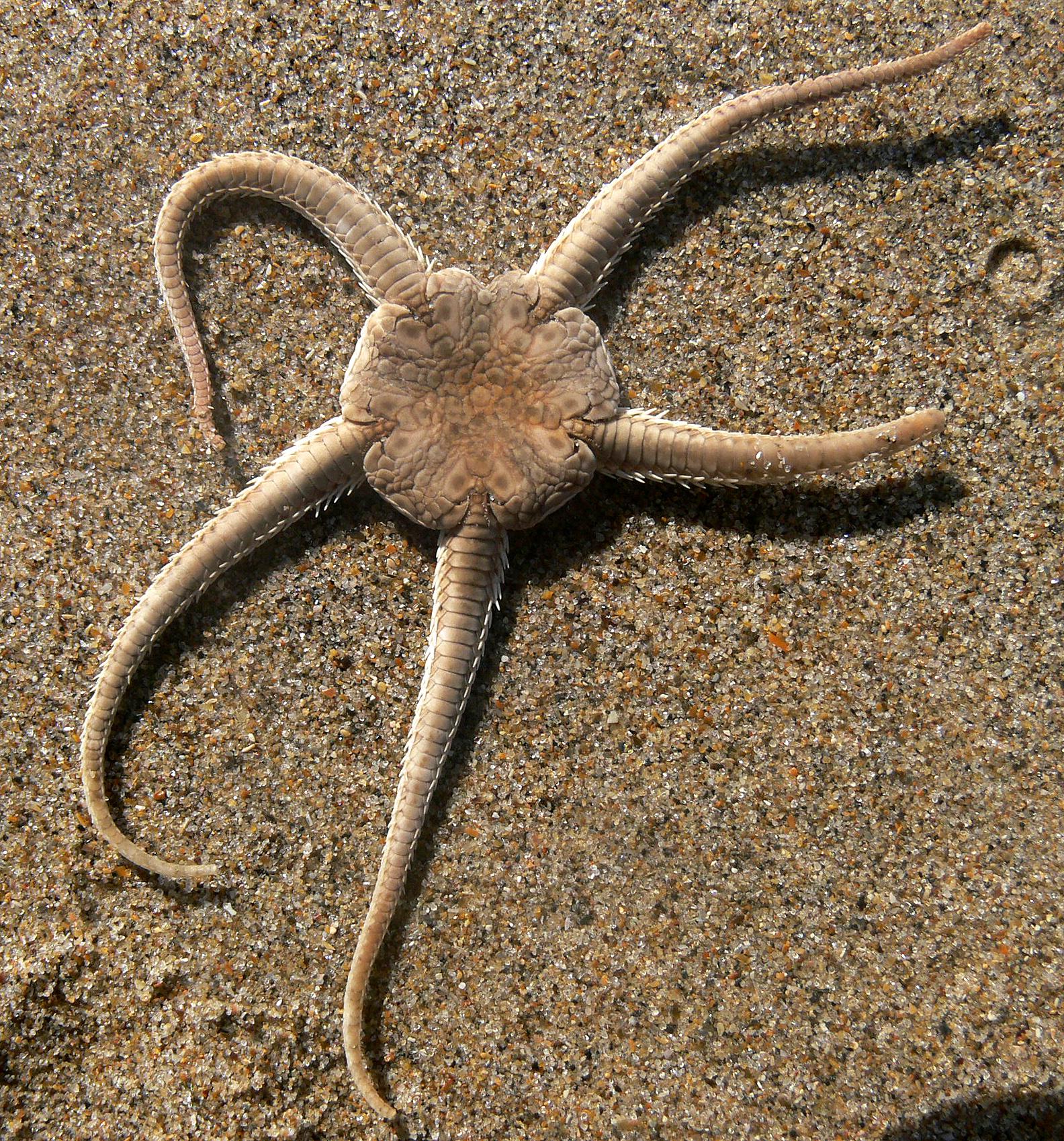 Brittle star - Wikipedia