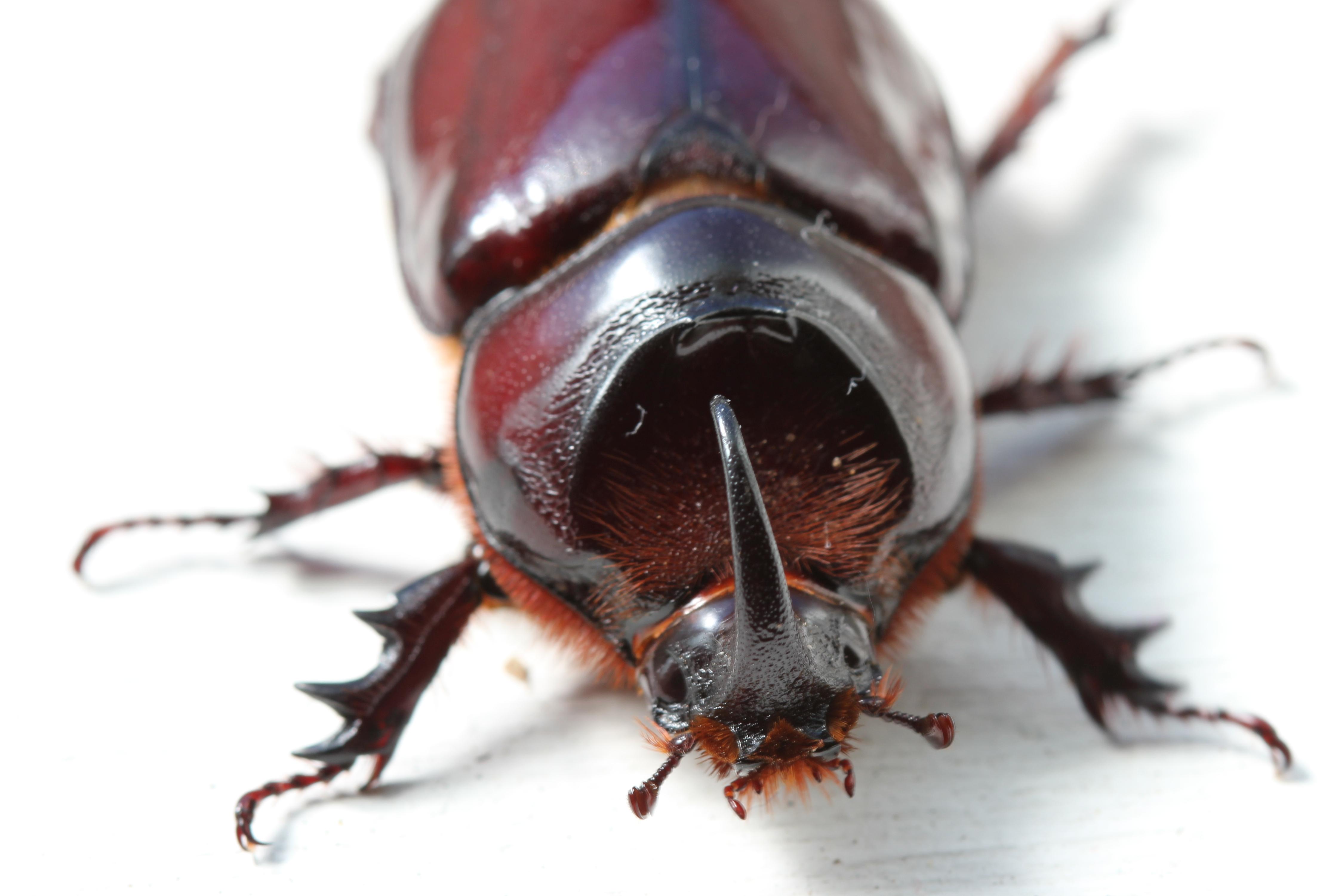 file oryctes species rhinoceros beetle male scarabaeidae eos 063