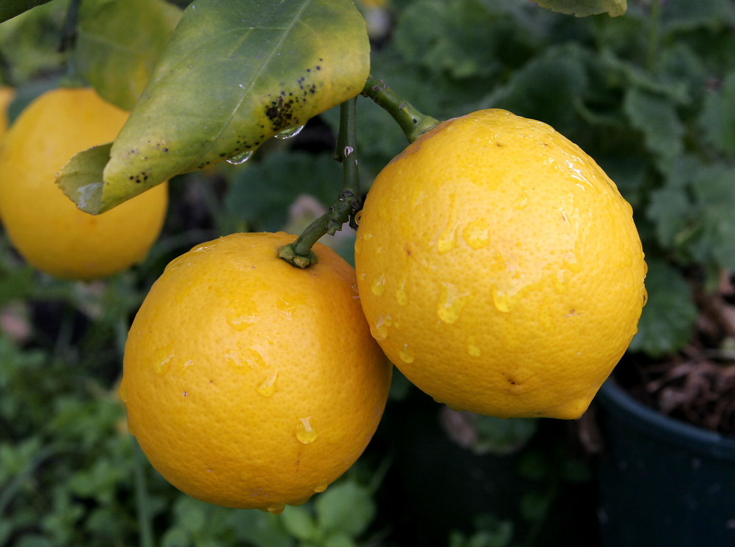lemons- wikimedia commons
