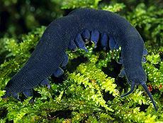 <i>Peripatoides indigo</i> species of velvet worm