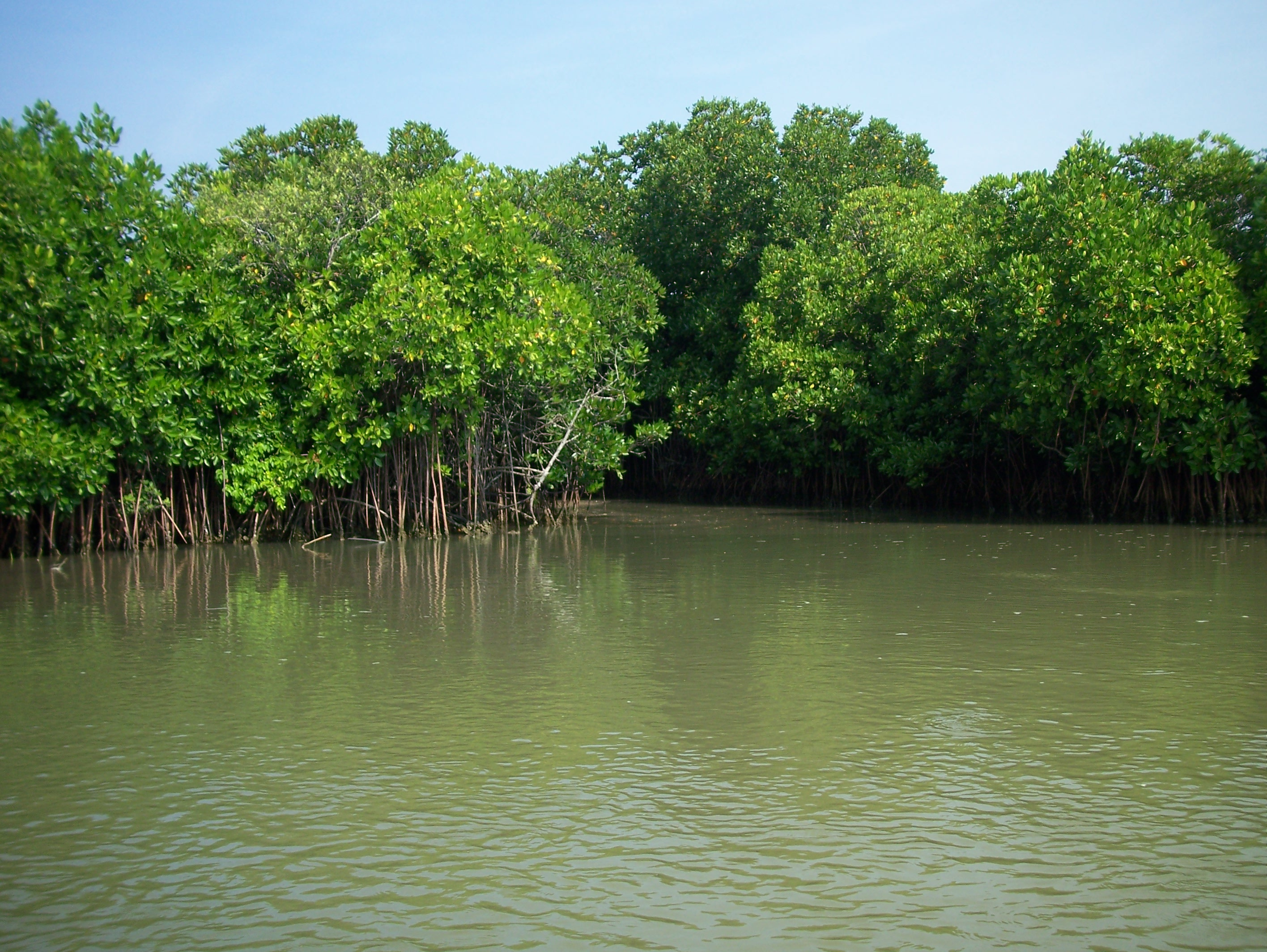 mangrove forests Since the 1940s, the world has lost half of its mangrove forests in colombia, a stretch of coastline where the trees grow now has an unlikely champion: apple is investing an undisclosed amount to.