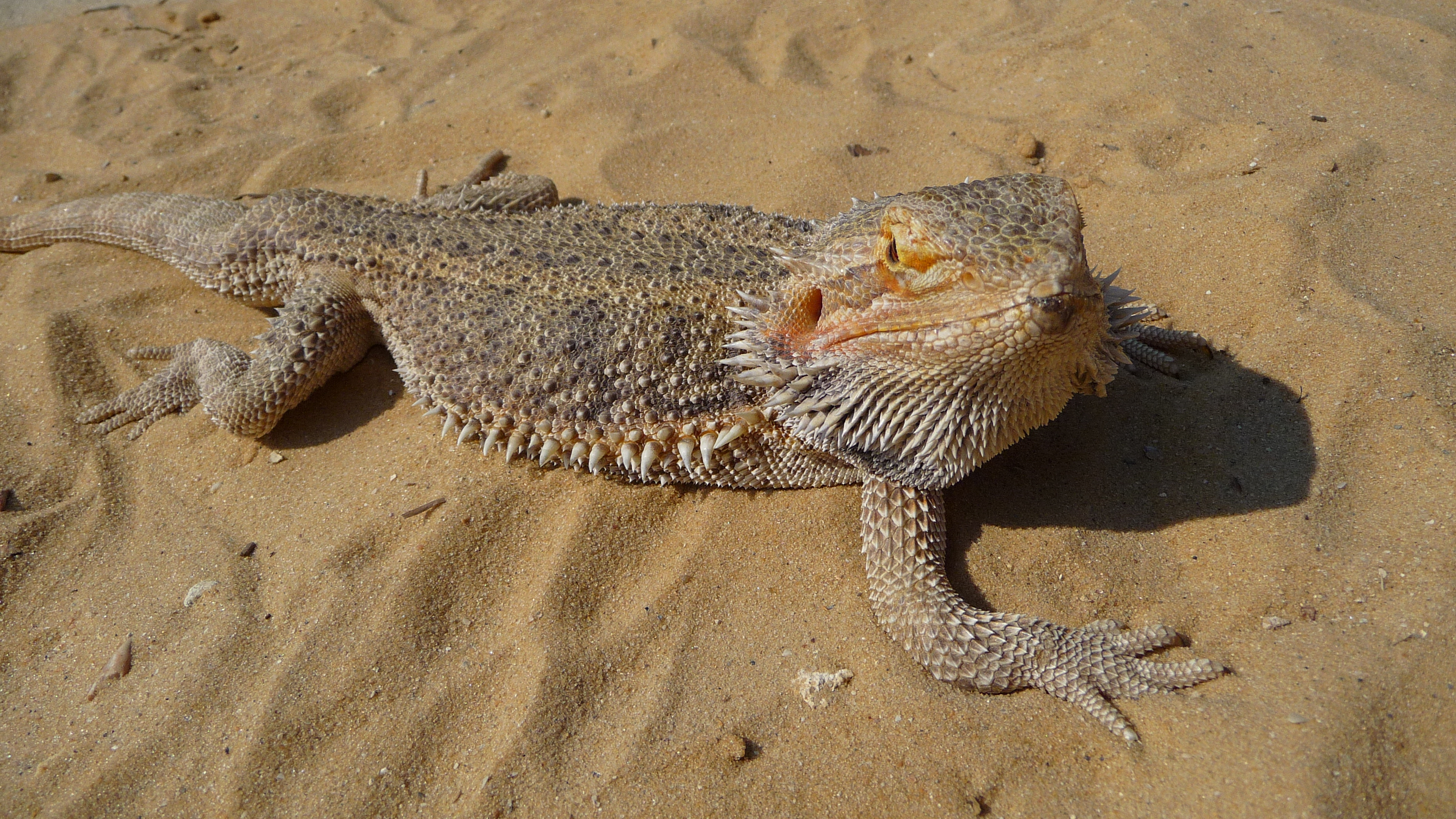 bearded lizard pictures - 1200×630