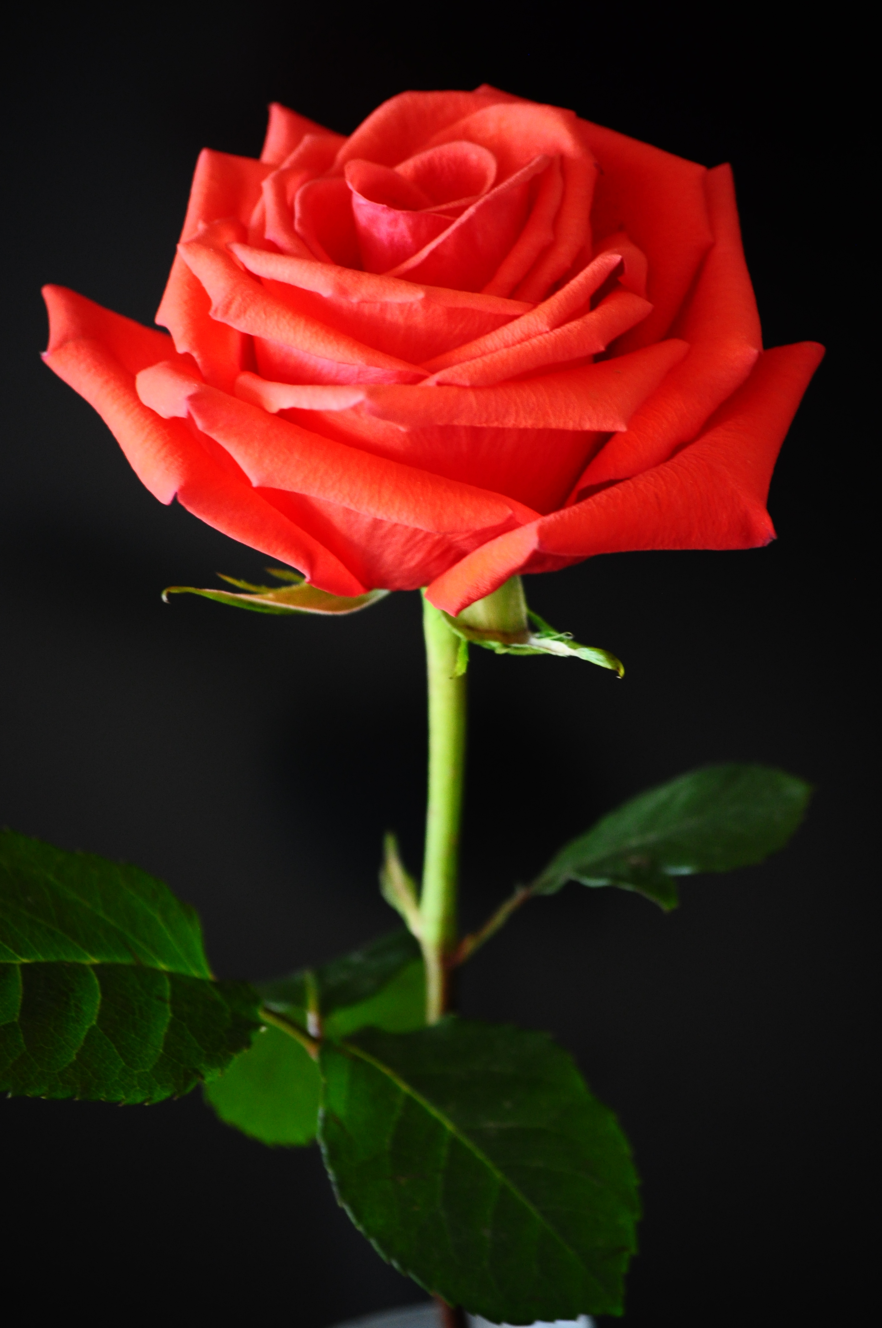 Black And Red Roses Background