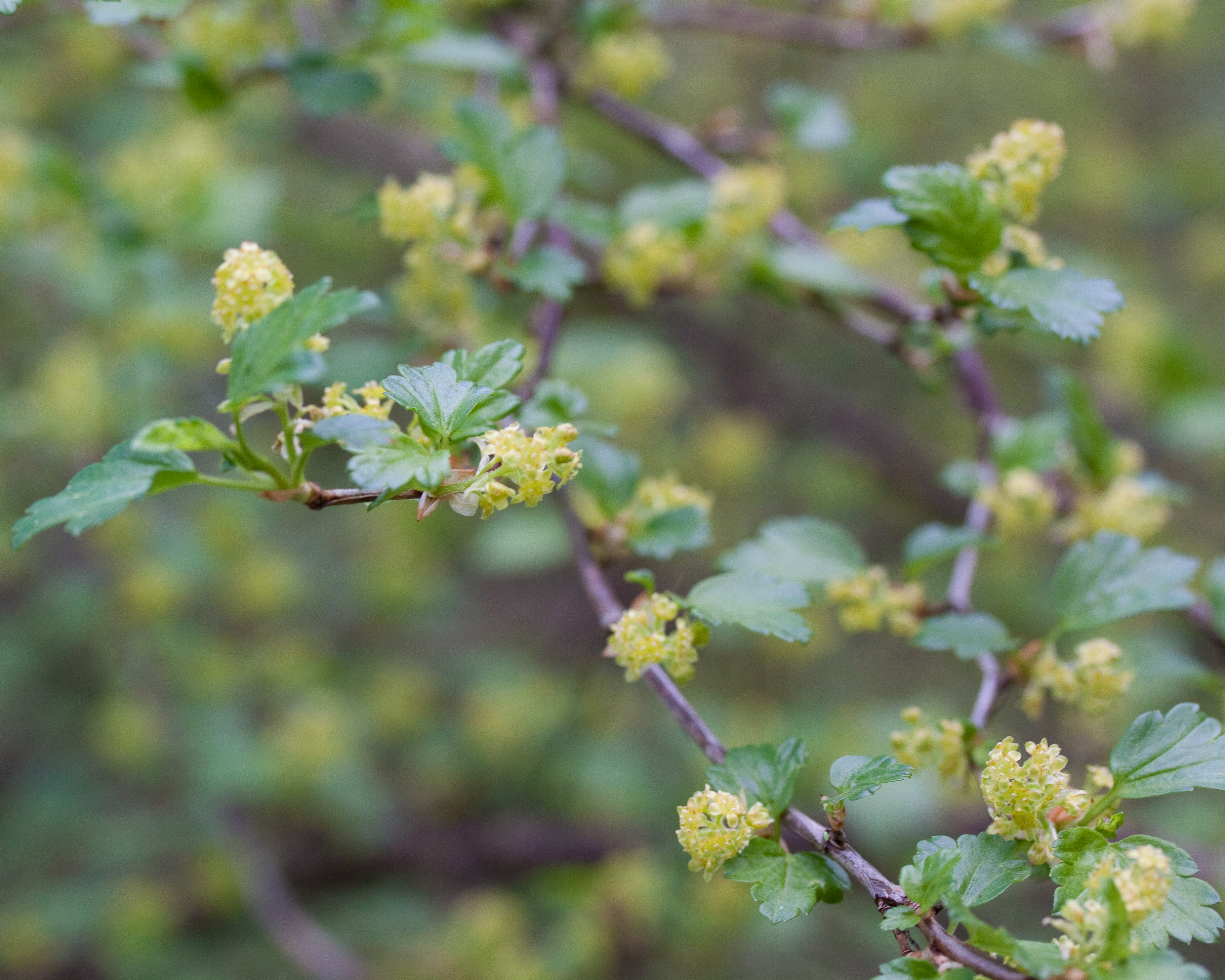 File Ribes alpinum Fleurs 2 Wikimedia mons