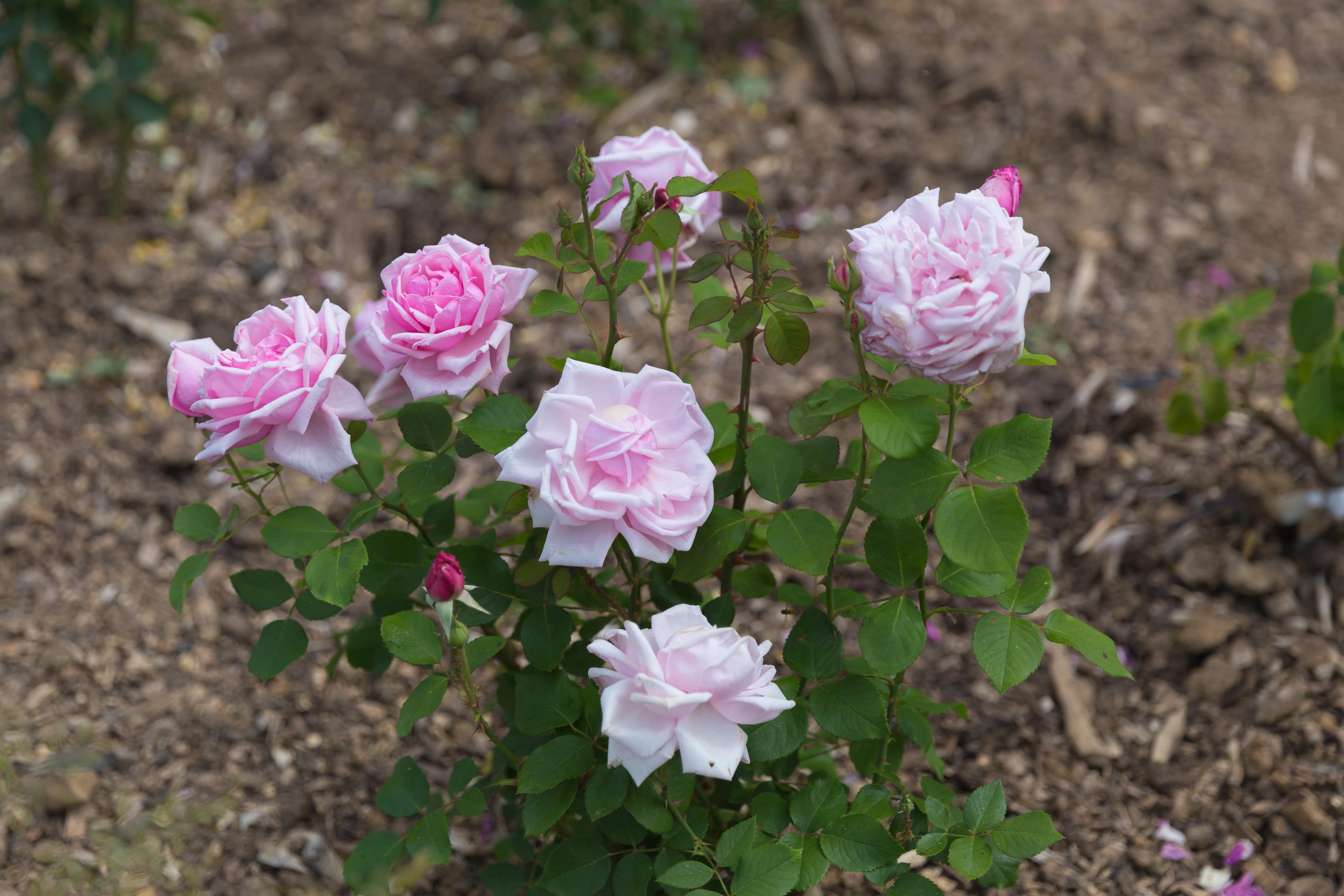 File rosa 39 la france 39 rosier wikimedia commons for Rosier jardin de france