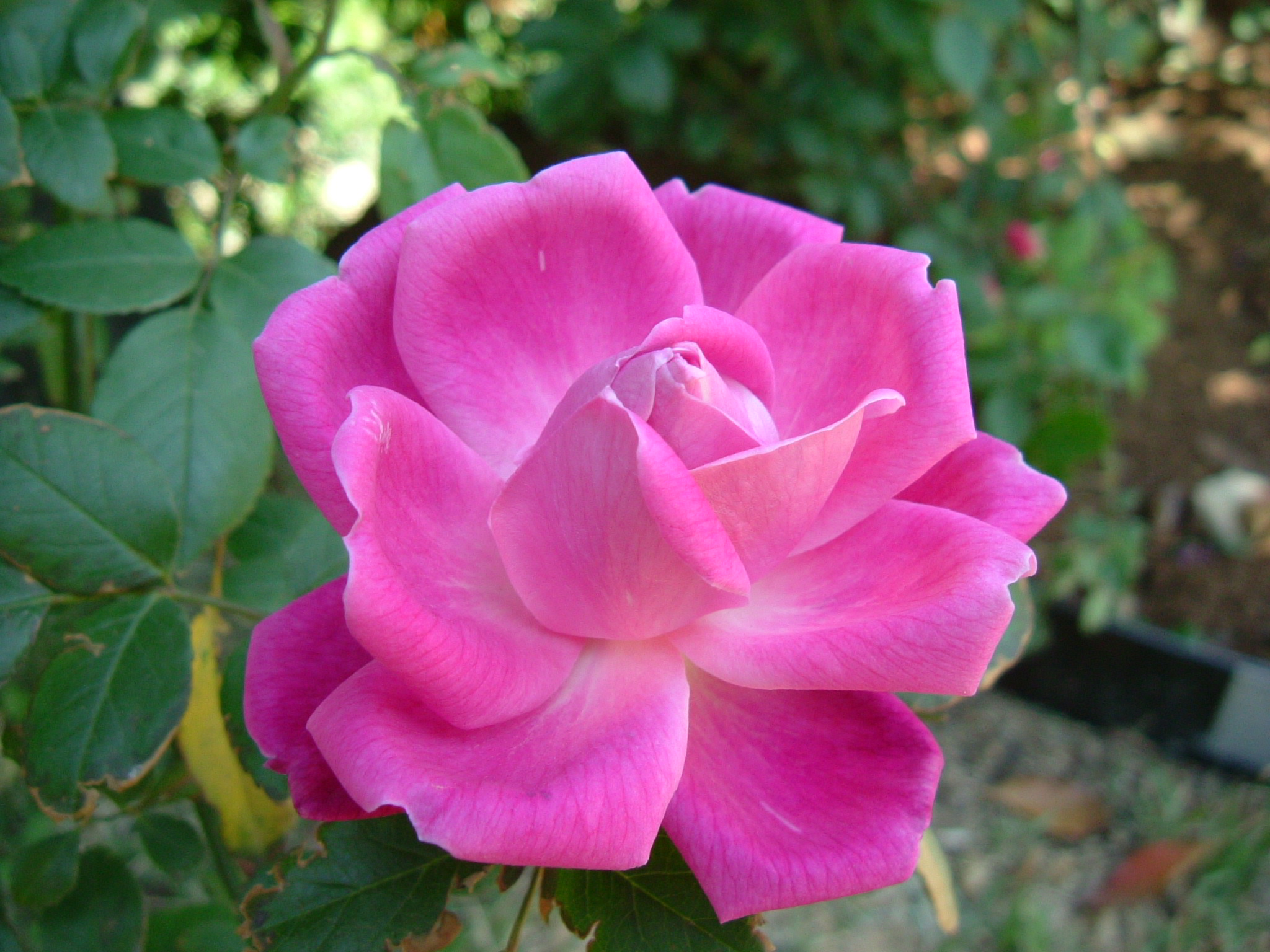 What is china rose does it belong to hibiscus family does for Rosas chinas