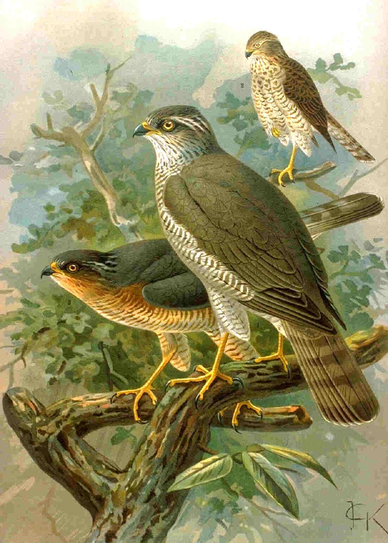 Sparrowhawk04.jpg