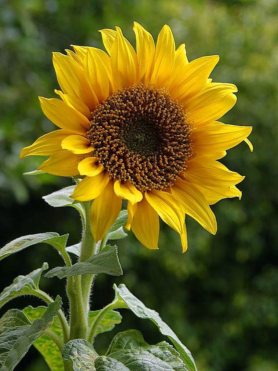 sun flowers and flower - photo #37