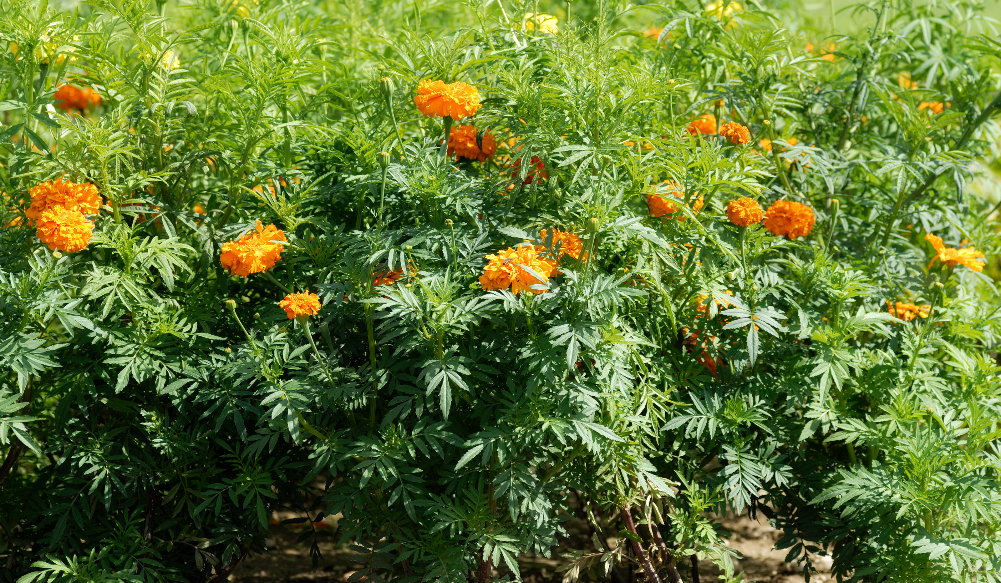 tagetes erecta The florets of tagetes erecta are rich in the orange-yellow carotenoid lutein and are used as a food colour (ins-number e161b) in the european union for foods such as pasta, vegetable oil, margarine, mayonnaise, salad dressing, baked goods, confectionery.
