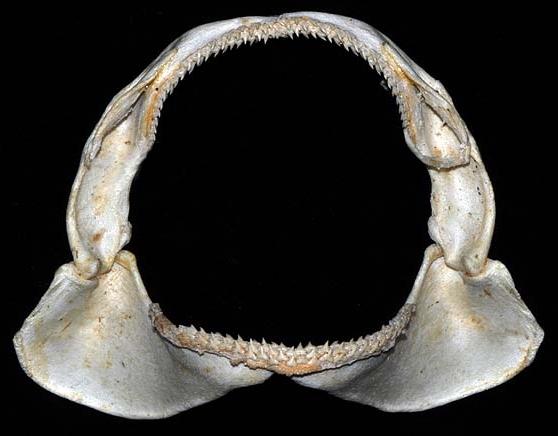 File:Triakis semifasciata jaws.jpg