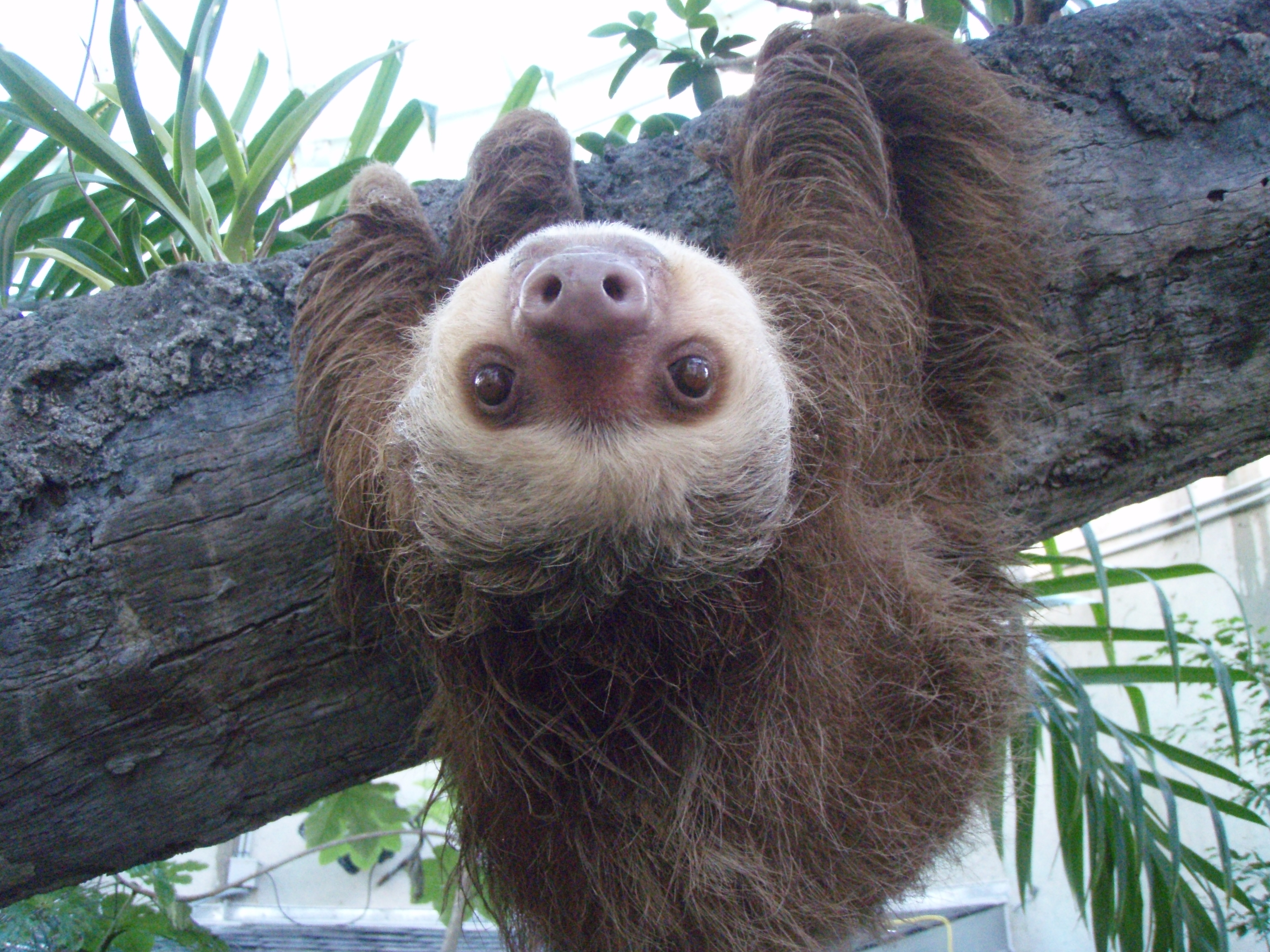 baby two toed sloth - photo #19