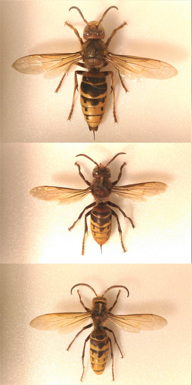European hornet - Wikipedia