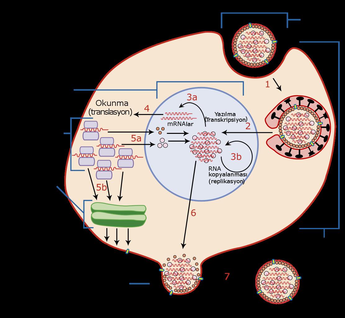 Bakteriyofajlar: Tür ve amaç