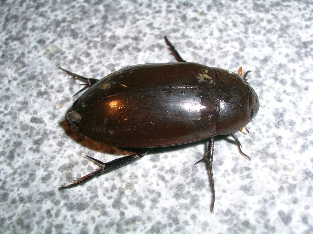 Water_beetle_nagerhole.jpg