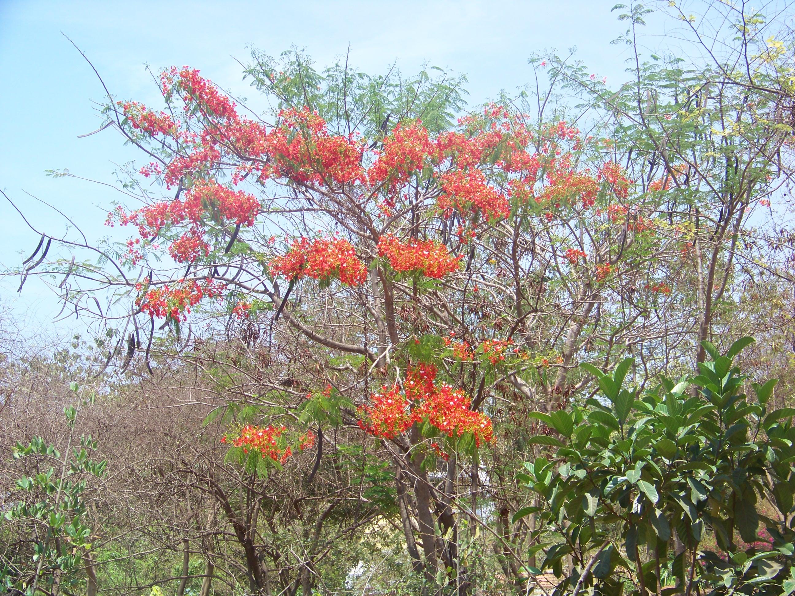 File Wild Red Flowers Goa Jpg