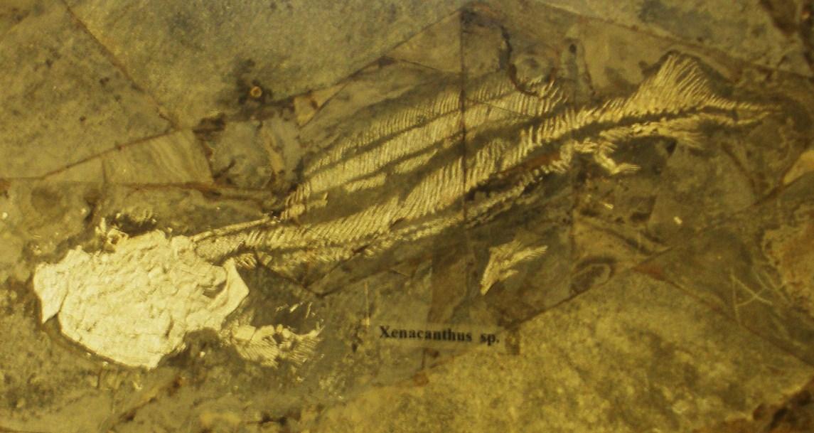 Xenacanthus Wikipedia