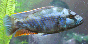 nimbochromis livingstonii wikipedia