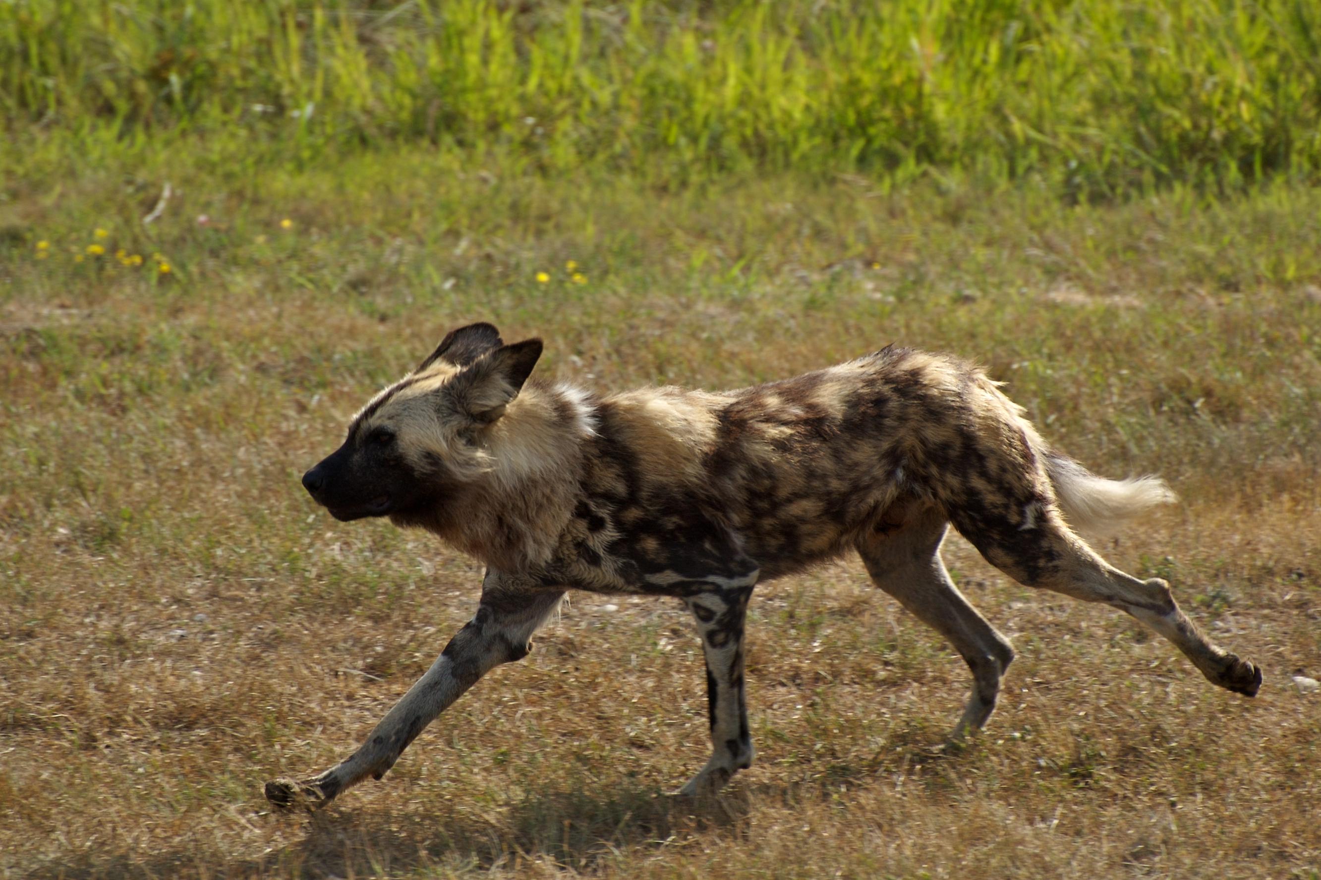 Wild Dogs Australia Wiki