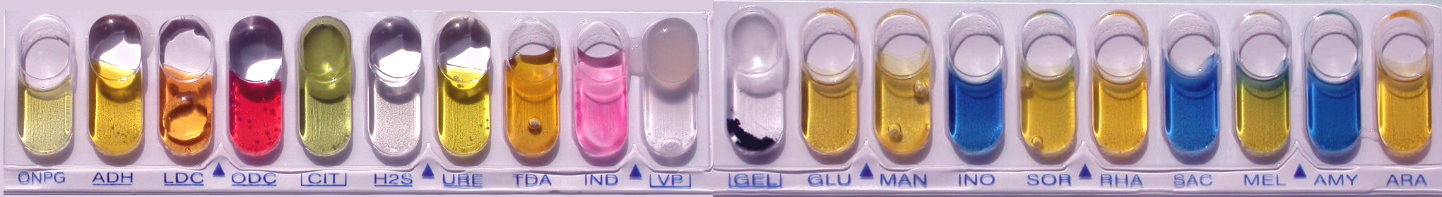 Galerie multi-tests API 20E utilisée dans les laboratoires d'analyses biomédicales pour identifier les entérobactéries