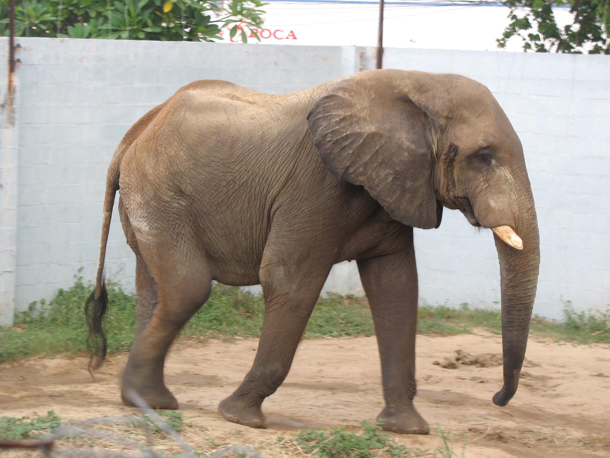 File:Barranquila Zoológico Elefante.jpg - Wikimedia Commons