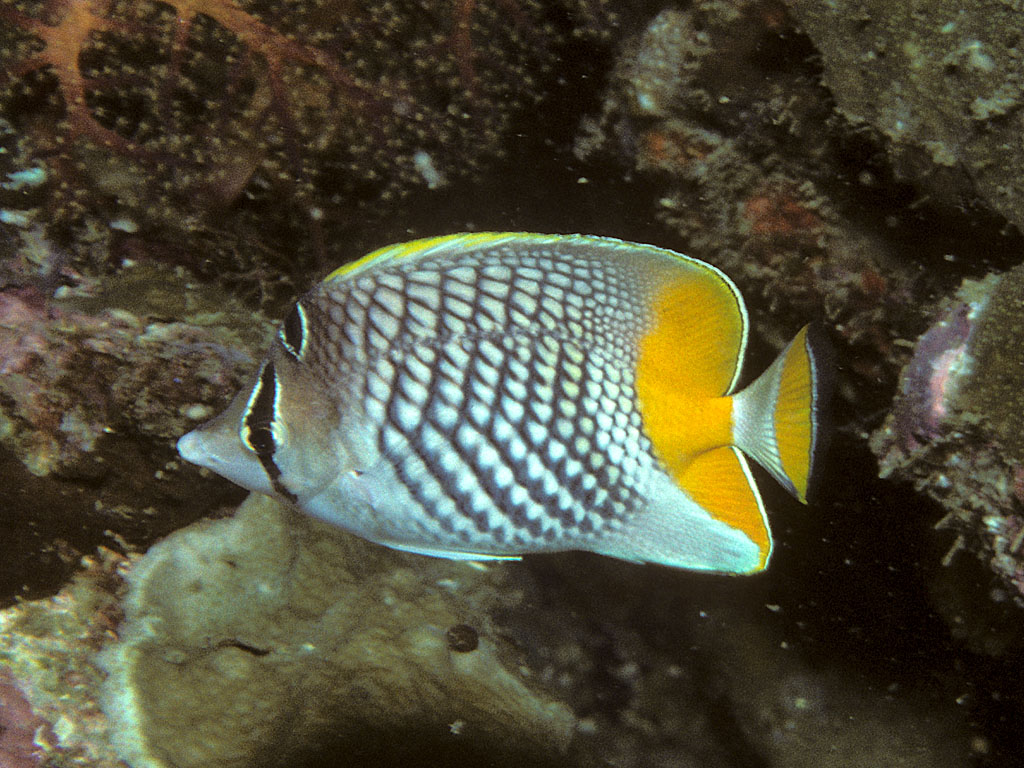 Pearlscale butterflyfish - Wikipedia